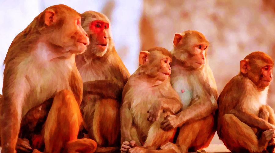 اولین نشانه ویروس آبلهمیمون در کلونی میمونها